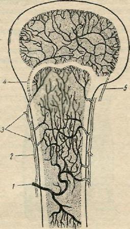 Схема   кровоснабжения    метаэпифиза