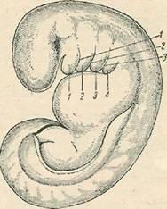 Схема зародыша на 3-й неделе